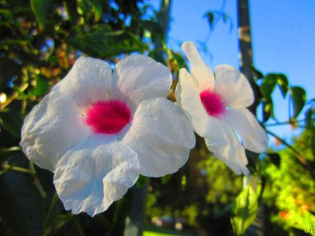 pink_white_flowers