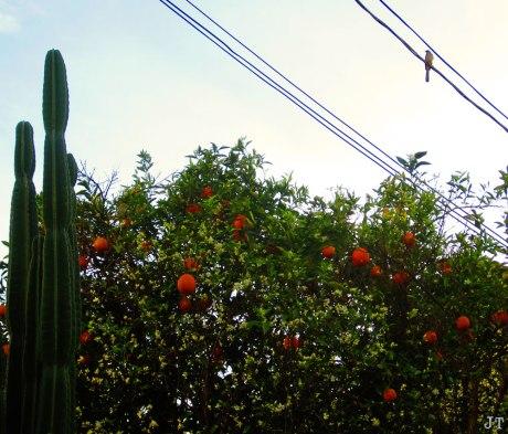 orangeTree2