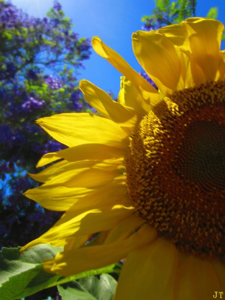 sunFlower2
